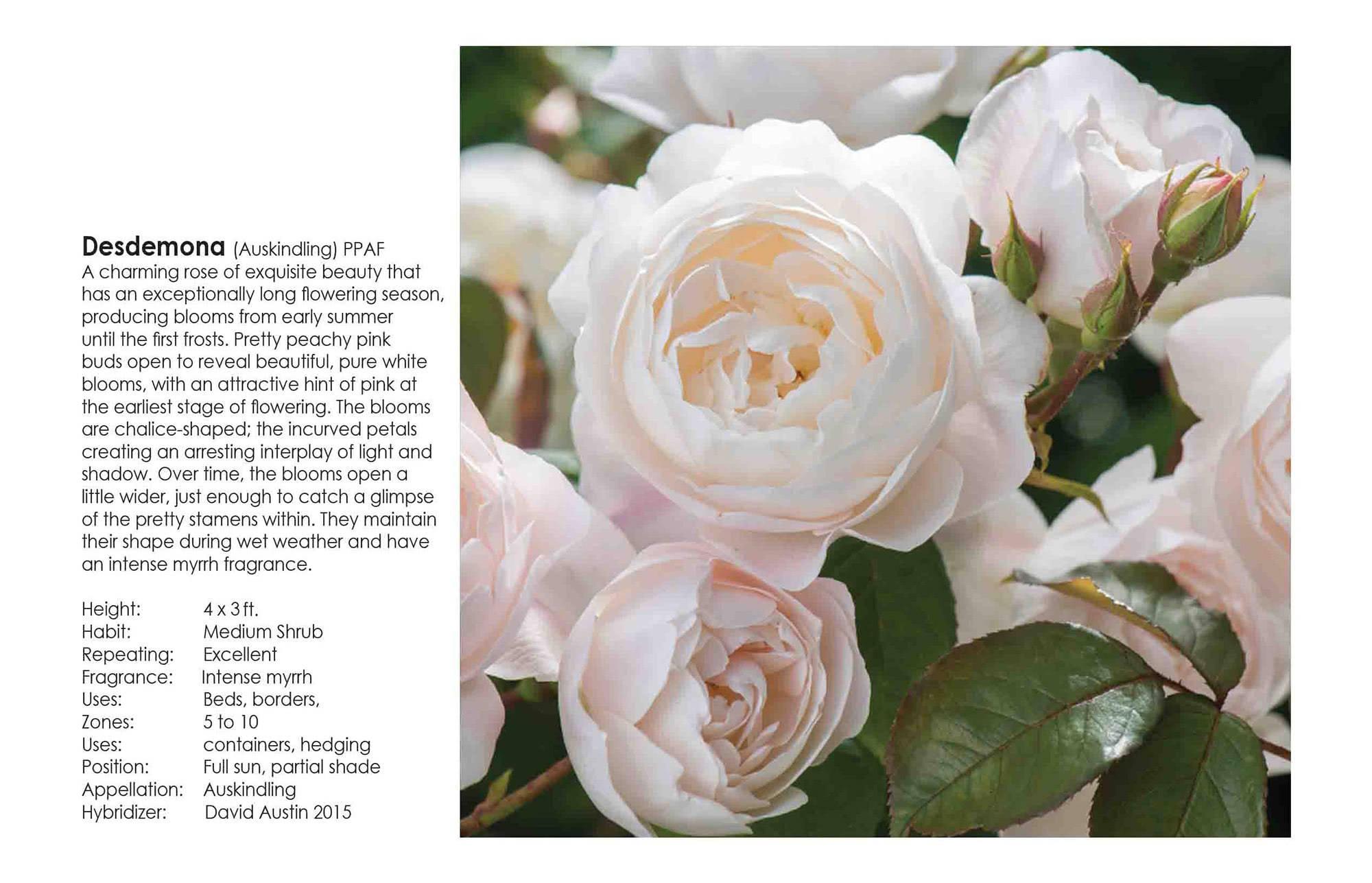 David Austin Roses - Desdemona