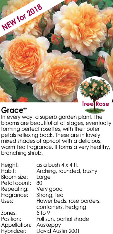 Grace - New for 2018 - Tree Rose