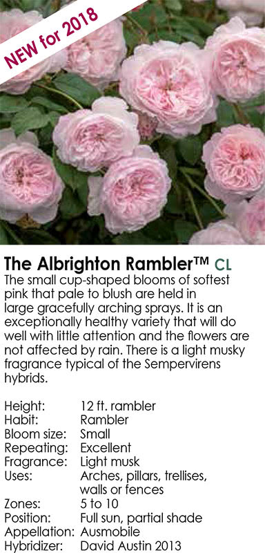 The Albrighton Rambler - Small Cup-Shaped Blooms - David Austin Roses