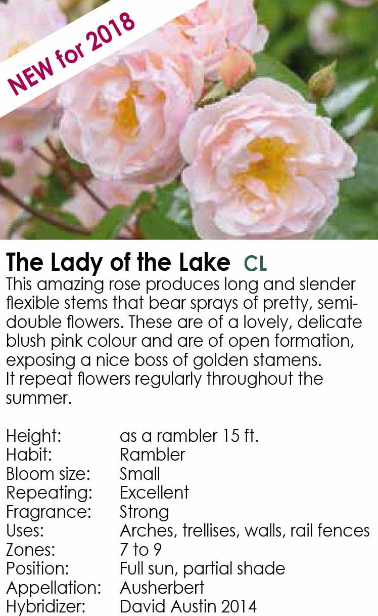 The Lady of the Lake - New for 2018 - David Austin Roses