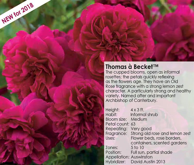 Thomas a Becket - New for 2018 - Cupped Blooms - David Austin