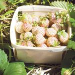 pineberry inside (from Penny)