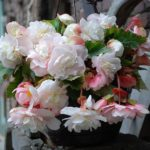 Begonia 'Angelique'