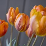 Forcing Tulips Winter