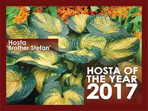 Hosta Of The Year 2017
