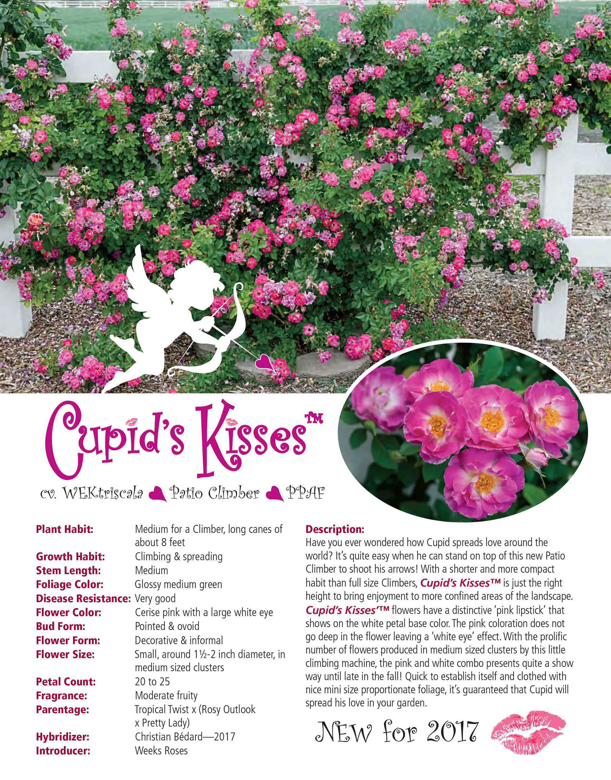 Weeks Roses - Cupids Kisses