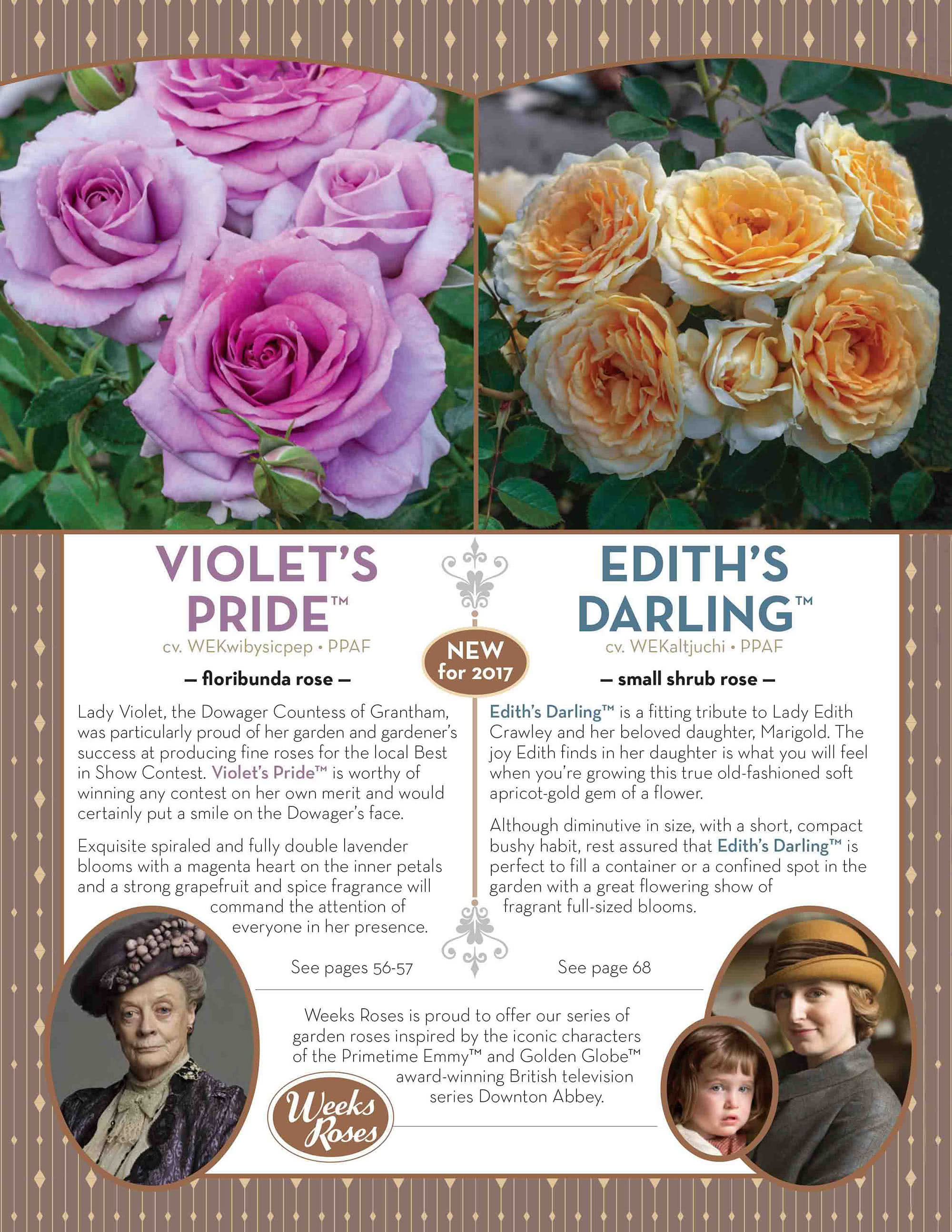 Weeks Roses - Violets Pride Ediths Darling