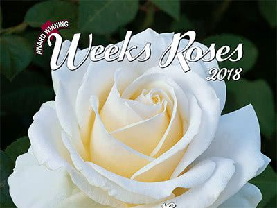Award Winning Weeks Roses