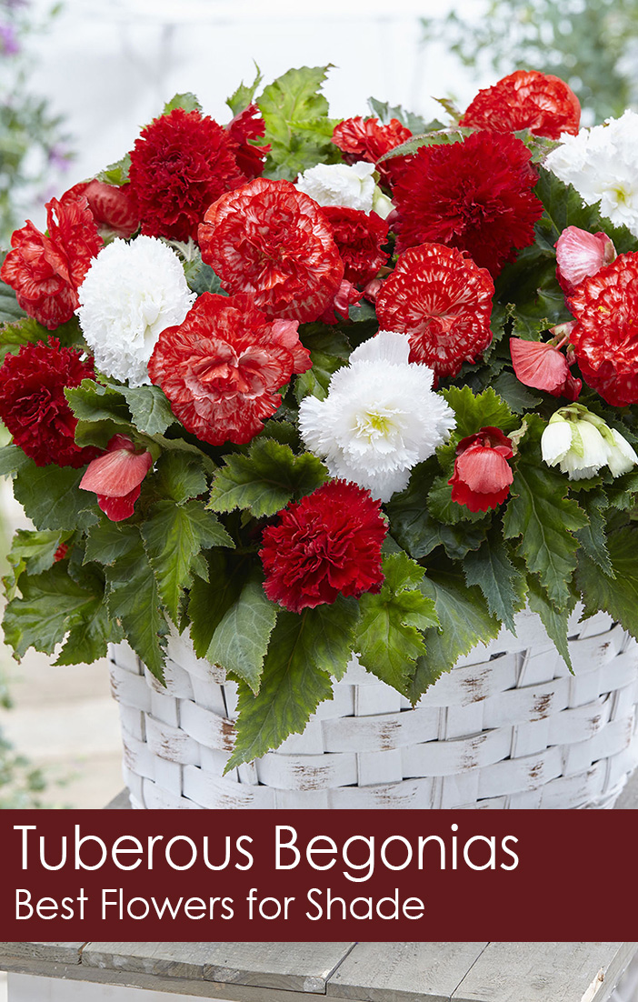 Tuberous Begonias Best Flowers For Shade Florissa