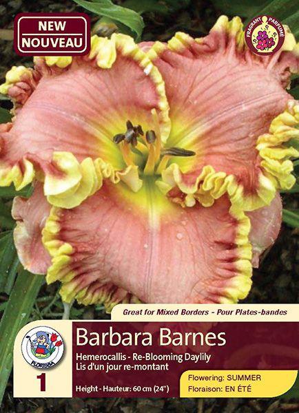 Barbara Barnes - Hemerocallis - Re-Blooming Daylily - Flowering in Summer