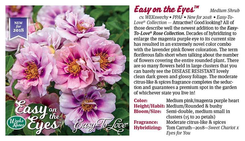 Weeks Roses - Easy on the Eyes