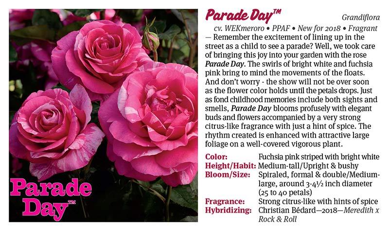 Weeks Roses - Parade Day