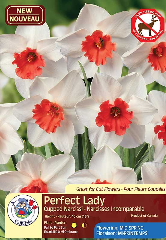 Daffodil Narcissus Perfect Lady - Cupped Narcissi - Flowering Mid Spring