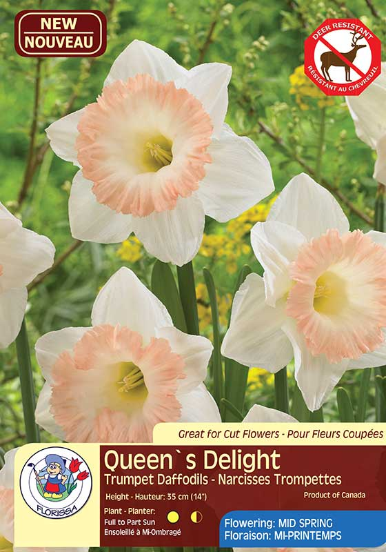 Daffodil Narcissus Queen's Delight - Trumpet Daffodils - Flowering Mid Spring
