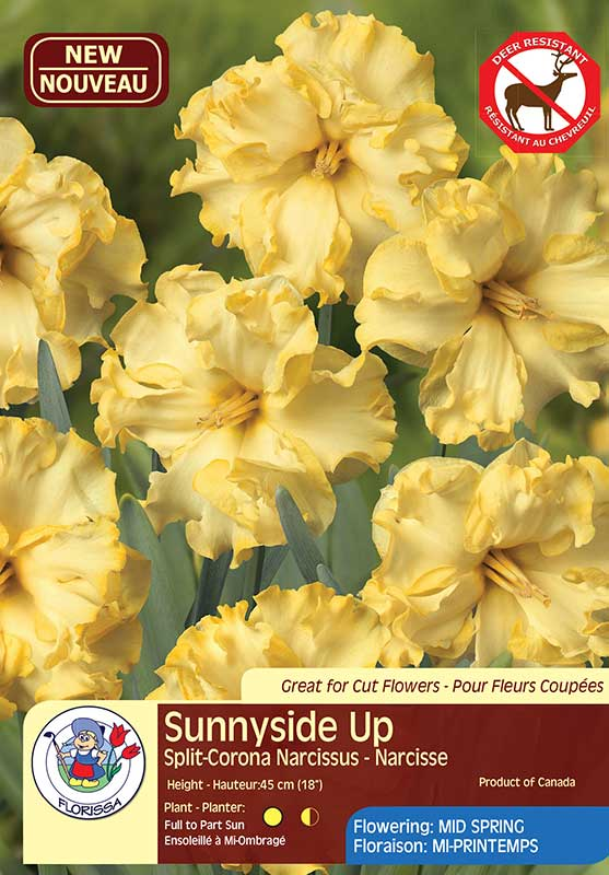 Daffodil Narcissus Sunnyside Up - Split-Corona - Flowering Mid Spring
