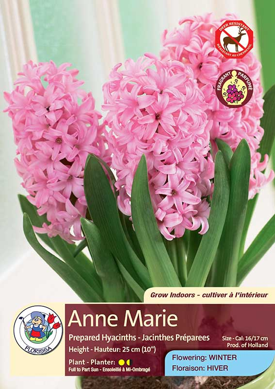 Anne Marie - Prepared Hyacinths - Flowering in Winter