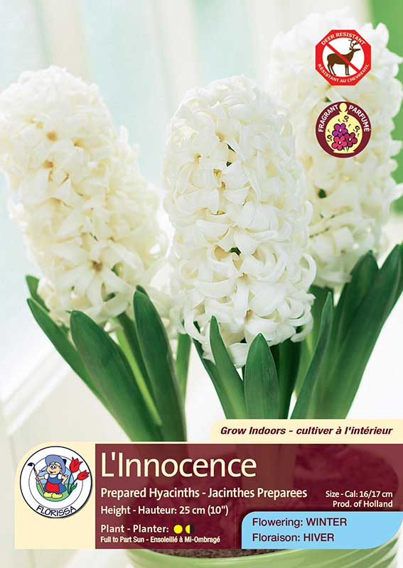 L'Innocence - Prepared Hyacinths - Flowering in Winter