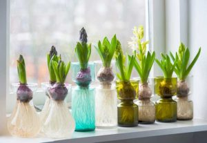 Hyacinths in Glass