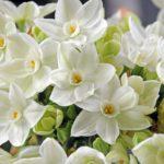 Narcissus-Paperwhite-Ziva-cover