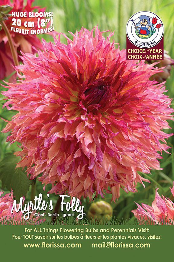 Myrtle's Folly - Giant Dahlia - Florissa's Choice of the Year