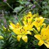 Lilium Golden Matrix