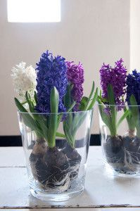 Hyacinth bulbs in pots - white purple blue
