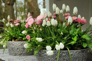 Muscari White Magic - potted bulbs