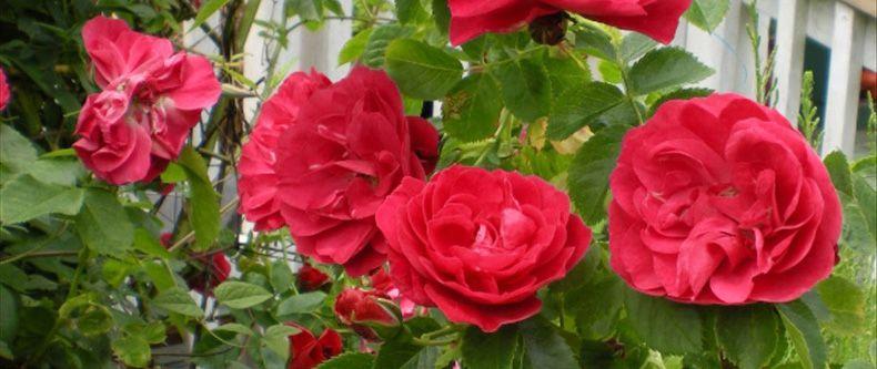Climbing Rose - John Cabot