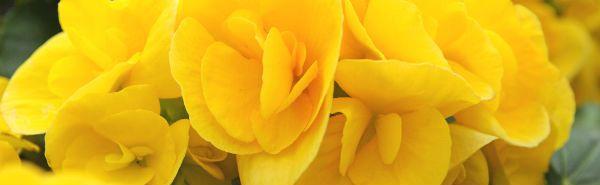 Begonia multiflora non stop yellow Ibulb_201166