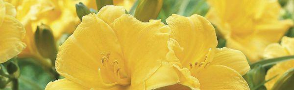 Hemerocallis Stella D'Oro 126575