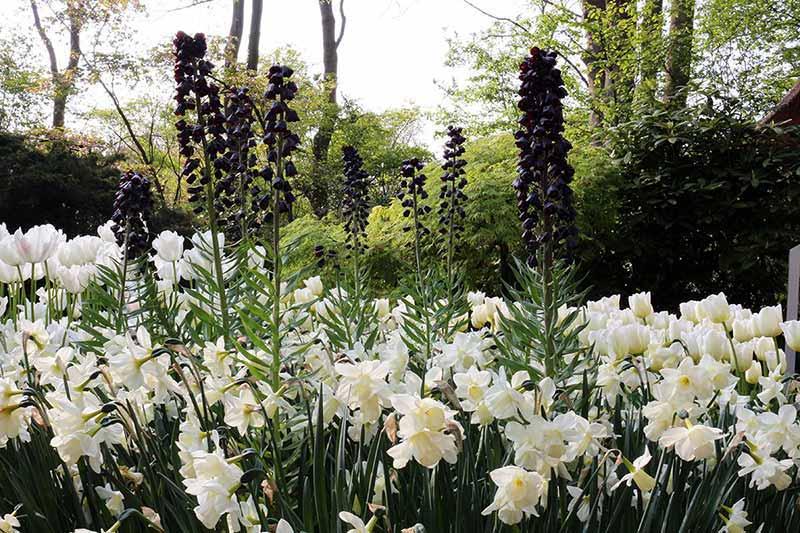 Keukenhof Fritillaria Persica Narc White