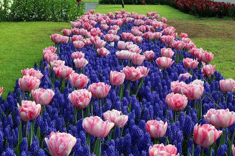 Keukenhof Tulip Foxtrot Muscari