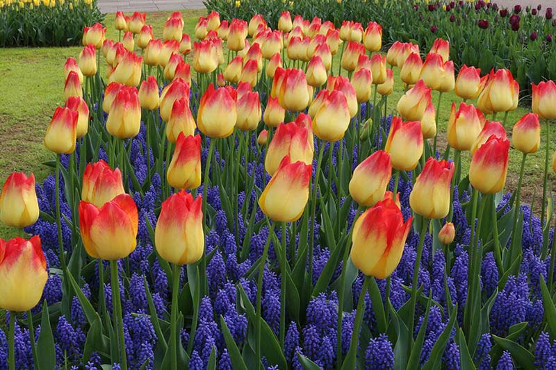 Keukenhof Tulip Suncatcher Muscari