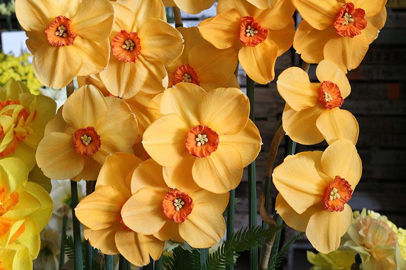 Keukenhof Narcissus Sabina Hay
