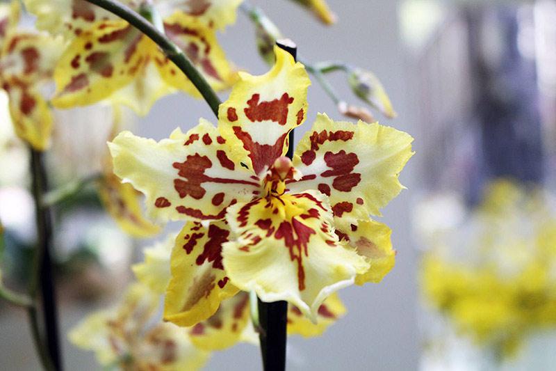 Keukenhof Orchid Tiger