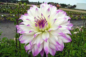 Garden Giant Dahlia