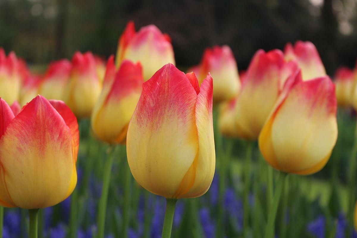 Keukenhof Tulip Suncatcher