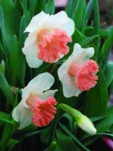 Narcissus Pink Parasol