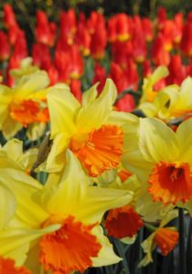 Narcissus Fortissimo Yellow