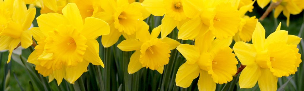 Narcissus - King Alfred - Yellow