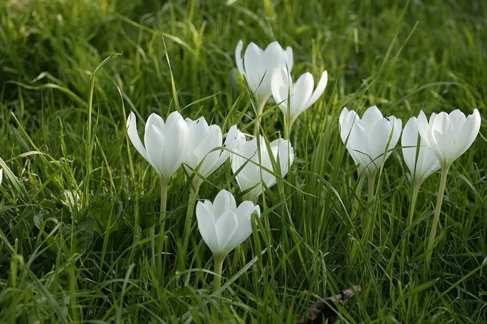 Colchicum speciosum alba