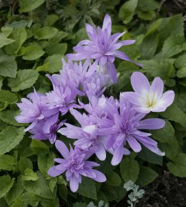 Colchicum waterlilly