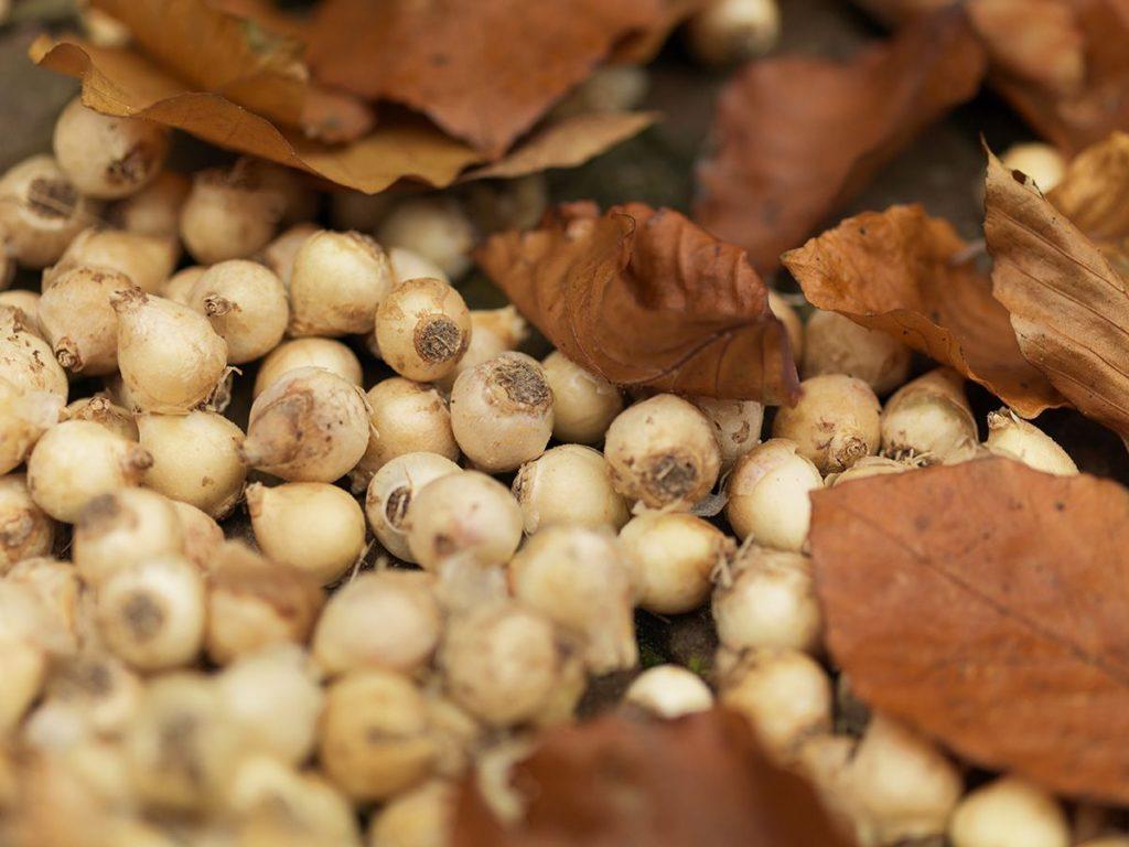 Muscari - Dry Bulb Planting