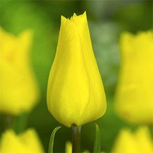 Tulip Yokohama early Ibulb_209821