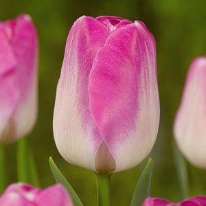 Tulip innuendo mid Ibulb_204548
