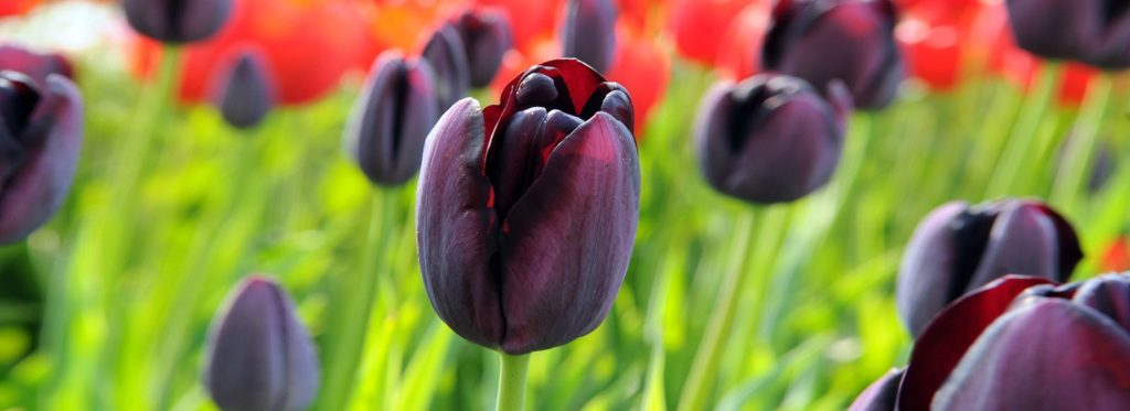 Queen of the Night Tulip - Close Up - Header