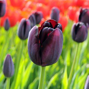 Tulip queen of night late Ibulb_207206