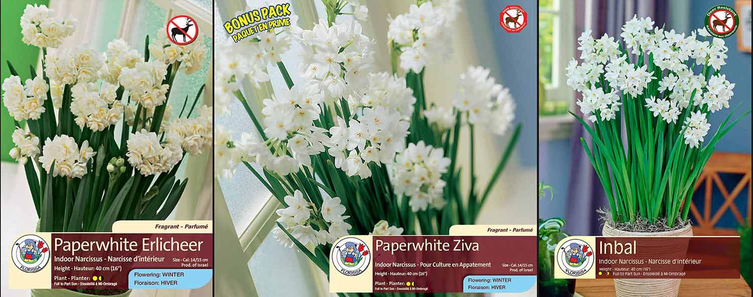 Nar Paperwhite Ziva - Lg Box Label