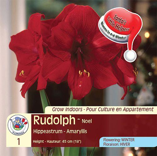 Amaryllis Rudolph