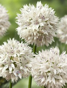 Allium_Gracefull Beauty_03284